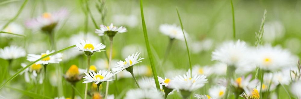 Panoramic view of chamomile in grass in summer